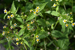 H1 Kleines Knopfkraut  BIO-Wild-Kräuterpflanze