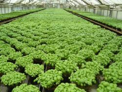 5er-Pack BIO-Pflanzen Genoveserbasilikum