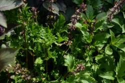 H3 BIO-Basilikum-Pflanze Zansibar-Basilikum