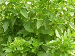BIO-Samen Fino Verde, Feines Grünes Pesto-Basilikum