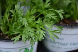 H1 BIO Kräuterpflanze Confetti-Koriander, Cilandro