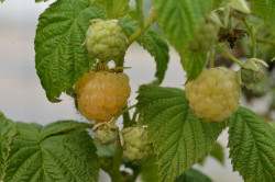 BIO-Himbeerpflanze Golden Everest