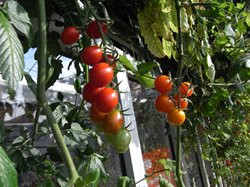 BIO-Pflanze Kirsch-Tomaten Rideau Sweet Alte Tomatensorte