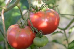 BIO-Samen Tomate Fleisch- Domaca Pfarrgarten