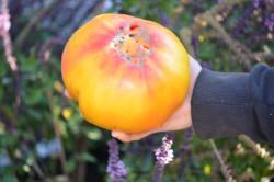 BIO-Samen Tomate Fleisch- Virginia Sweets