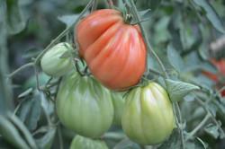 BIO-Pflanze Tomate Fleisch- Albenga Ochsenherz