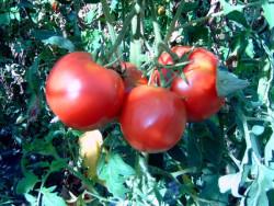 BIO-Pflanze Tomate Fleisch- Berner Rose Alte Tomatensorte