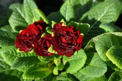 BIO-Blumen Primel Englische- Valentin gefüllt rot