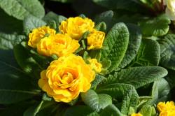 BIO-Blumen Primel Englische- Goldie gefüllt gelb