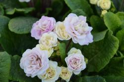 BIO-Blumen Primel Englische- Pink Champagne gefüllt