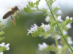 BIO-Pflanzen Bienenpflanzen für sonnige und trockene Lagen