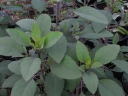 H4 Quillquiña-Koriander BIO Kräuterpflanze