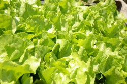 BIO-Samen Salat Kopfsalat Lucinde