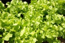 BIO-Samen Salat Pflück- Eichblattsalat Grün