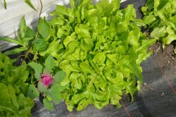 BIO-Samen Salat Pflück- Till