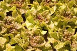 BIO-Samen Salat Kopf- Goldforelle