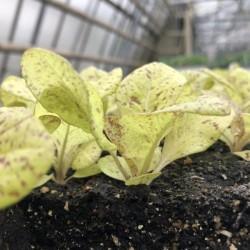 BIO-Jungpflanzen Goldforelle 6 Stück