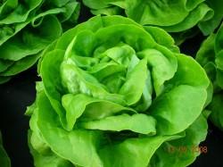BIO-Samen Salat Kopfsalat Cindy