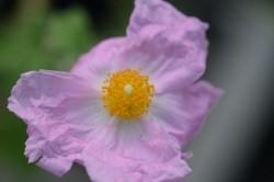 H4 Tee-Zistrose Bio-Kräuter-Pflanze