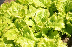 BIO-Samen Salat Eissalat Grazer Krauthäuptl
