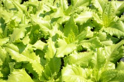 BIO-Samen Salat Pflücksalat Venezianer
