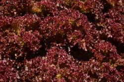 BIO-Samen Salat Pflücksalat Lollo rossa