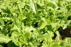 BIO-Samen Salat Pflücksalat Grüner Früher Schnittsalat