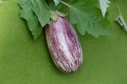 BIO-Pflanze Aubergine 'Tsakoniki'