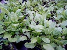 H1 Sauerampfer Blütenlos Profusion BIO-Kräuterpflanze