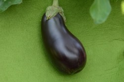BIO-Pflanze Aubergine 'Meronda'