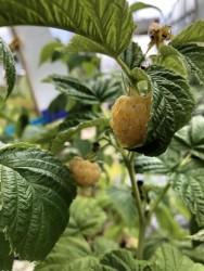 BIO-Beerenpflanze Himbeere 'Goddas Gold'