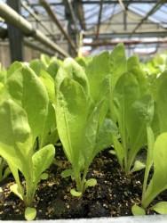 BIO-Jungpflanzen Radicchio Trevisio 6 Stück
