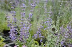 BIO-Pflanze Russischer Salbei