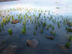 H4 Queller Meerspargel BIO-Gemüsepflanze