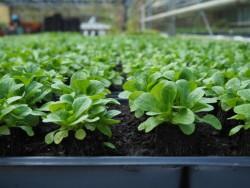 BIO-Pflanzschale Feldsalat mit 20 Pflanzen