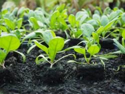 BIO-Pflanzschale Spinat 'Matador' mit 20 Pflanzen