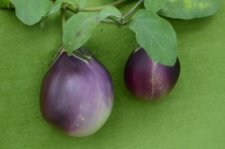 Bio-Pflanze Aubergine 'Cesky Rany'