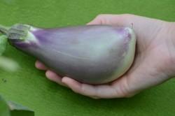 Bio-Pflanze Aubergine 'Sado Hara'