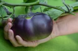 Bio-Pflanze Aubergine 'Obsidian'