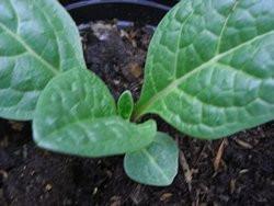 H4 Alraune BIO-Zauberkräuter-Pflanze