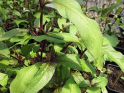 H4 Japanischer Wasserpfeffer BIO Kräuterpflanze
