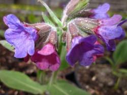 FL1 Lungenkraut BIO Heilkräuter-Pflanze