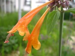 F1 Aprikosenmelisse BIO Duft-Kräuterpflanze