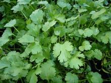 H1 BIO Kräuterpflanze Blattkoriander, Cilandro