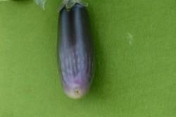 BIO-Pflanze Aubergine 'Jagannath'