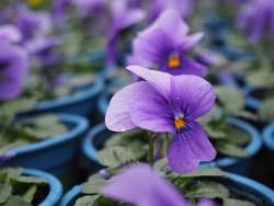 BIO-Blumen Hornveilchen Pastell-Mischung 8 Stück