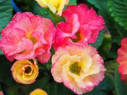 BIO-Blumen Primel Aquarell Pink