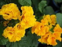 BIO-Blumen Primel gelbe Kräusel