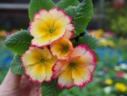 BIO-Blumen Primel Vintage