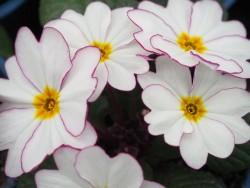 BIO-Blumen Primeln weiß mit pinkem Rand